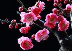 梅花常见病虫害如何防治?
