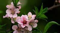 桃花花语是什么?
