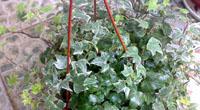 常春藤对室内环境有什么作用?