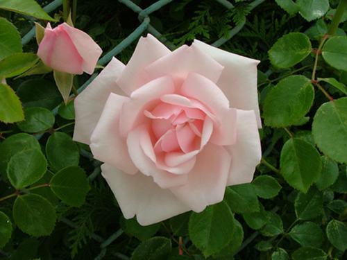 如何防止玫瑰花腐烂?