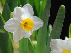 水仙花病虫害以及防治方法