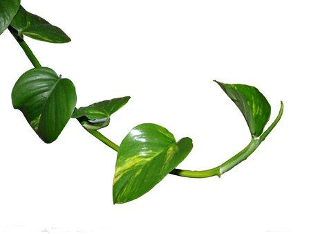 绿萝花语图片
