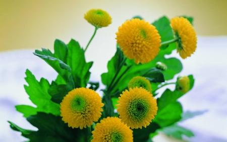 【万寿菊】万寿菊种植