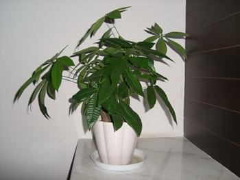 【发财树】发财树养殖方法_发财树资料大全