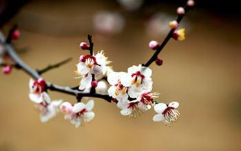 【梅花】梅花种植_梅花资料大全