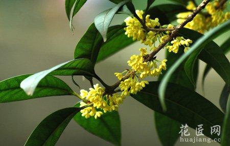 桂花树的种植技术以及栽培管理
