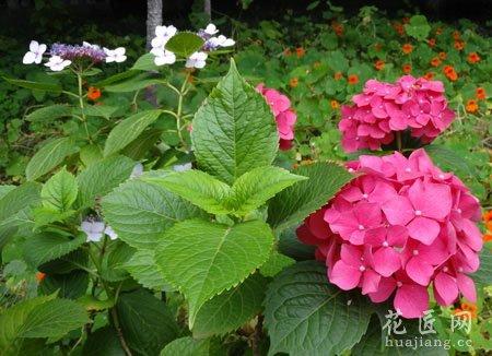 八仙花的药用功效及其作用_八仙花_八仙花图片和功效