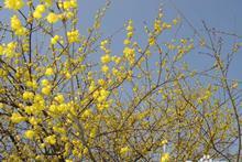 腊梅花种植以及注意事项