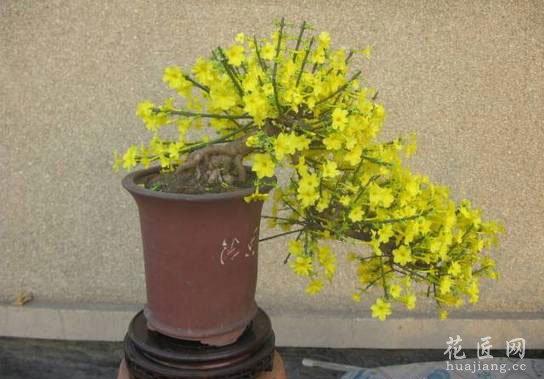 迎春花盆景的制作方法