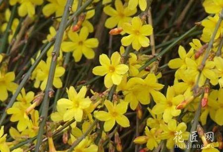 迎春花盆景的制作方法 2