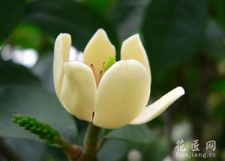 初夏开花,色象牙黄,染红紫晕,开时常不满,如含笑状,有香蕉气味.图片