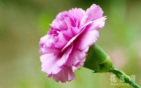 康乃馨养殖方法及其注意事项