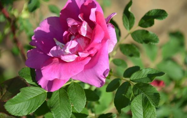 刺玫花图片