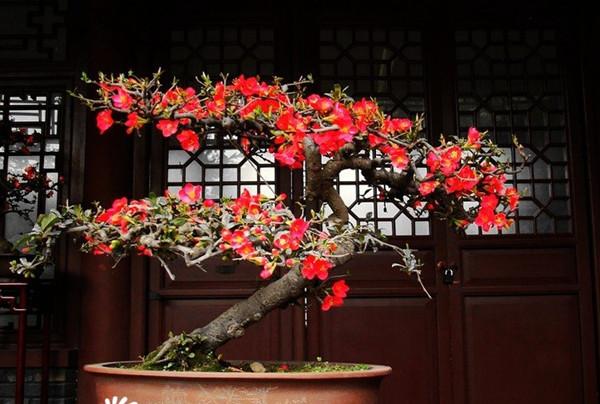海棠盆景图片