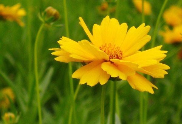 重瓣金鸡菊图片