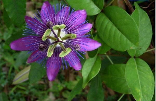紫花西番莲图片