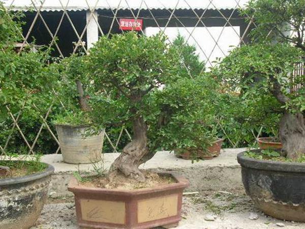 雀梅盆景图片