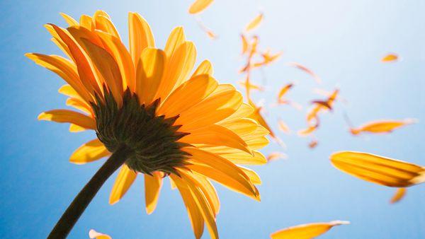太阳花图片