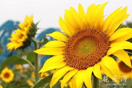太阳花花语图片
