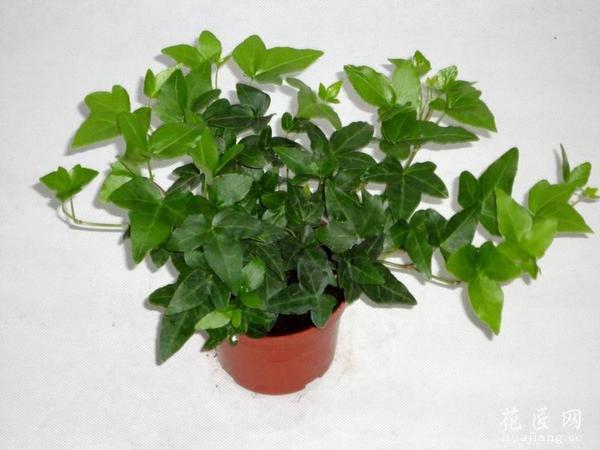 客厅大型盆栽植物图片
