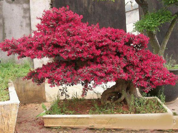 紫薇盆景图片
