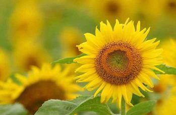 【向日葵】向日葵种植_太阳花百科资料