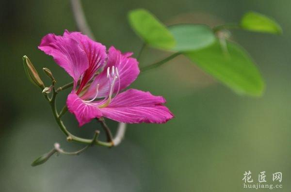 紫荆花 月季花