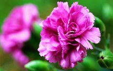 康乃馨花图片