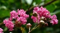 紫薇花的种植需要注意什么?