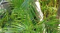 散尾葵的养殖方法是什么?