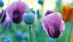 各种罂粟花的龙都娱乐