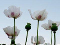 怎么区分罂粟花和虞美人