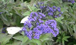 香水草的养殖方法有哪些?