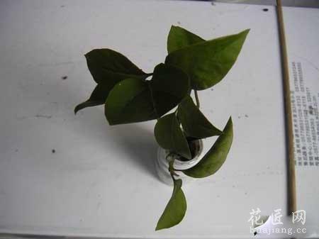 三角梅扦插繁殖(图解)