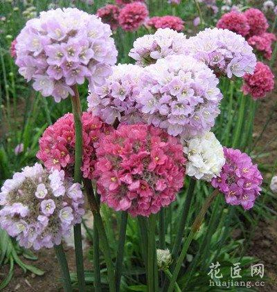 海石竹的栽培技术 海石竹的养殖方法