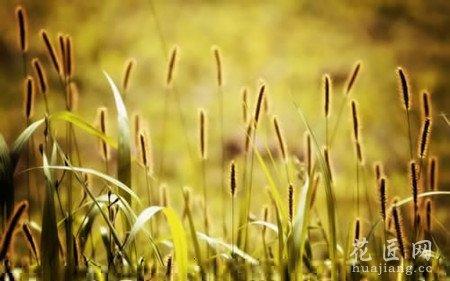 猫尾草根的功效图片