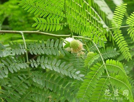 银合欢树萌发力极强,枝条过高可短截