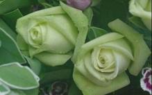 绿玫瑰钱柜娱乐777官网登录是什么?