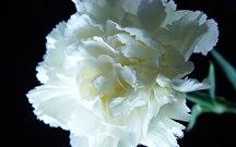 康乃馨朵数所代表的意思