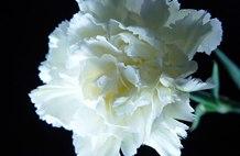 白色康乃馨花语