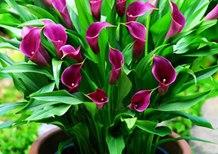 紫色马蹄莲花语