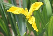 黄色鸢尾花花语