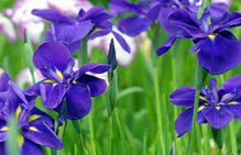 蓝色鸢尾花花语