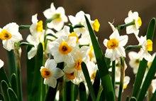 中国和西洋的水仙花花语分别是什么?