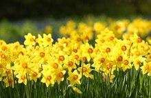 黄水仙花花语