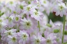 冬樱花、重瓣樱花、樱花草龙都娱乐