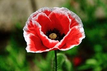【罂粟花】罂粟花种植_罂粟花花语带图片