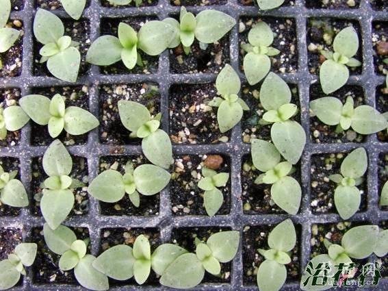 洋桔梗种植(苗期、移栽期和上花期)