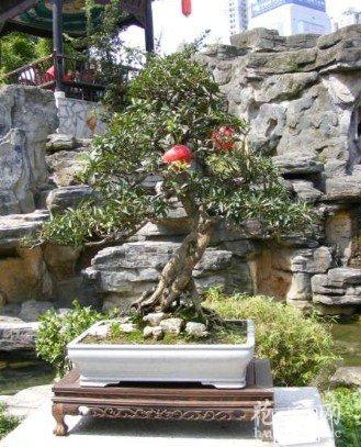 李子盆景的栽培