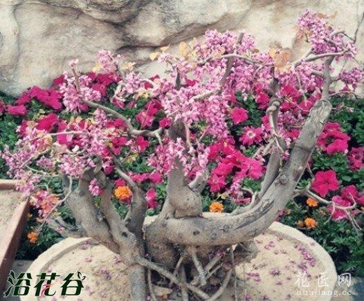 紫荆盆景常见的病虫害及防治